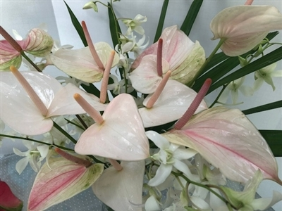 Soft tones of pinks, greens and whites, tulip anthurium and white dendrobium orchis sprays accented by green raphis palm.