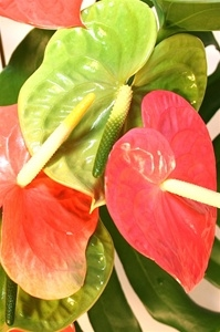 Hawaiian Variety Athurium Bouquet
